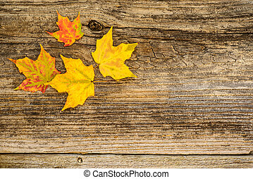 Autumn Maple Leaves - Colorful maple leaves on a weathered...