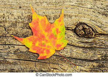 Maple Leaf - Colorful maple leaf on a weathered barnboard...
