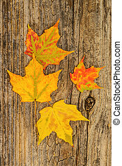 Maple Leaves - Colorful maple leaves on a weathered...
