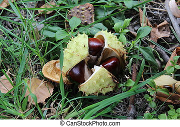 Horse chestnut lying on the ground in autumn.