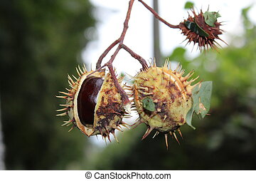 Horse chestnut on the tree in autumn.