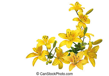Yellow Lily Bundle - Bundle of yellow lily flowers isolated...