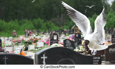 Birds, gulls in the cemetery. Shot in 4K (ultra-high...
