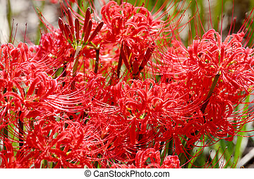 Red spider lily, cluster amaryllis - Red spider lily,...