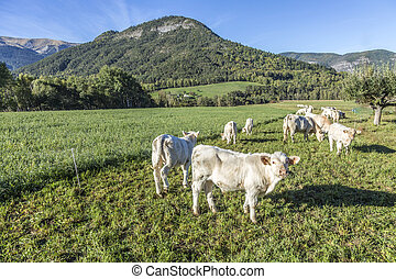 cows grazing at the meadow in the Alpes near Seyne