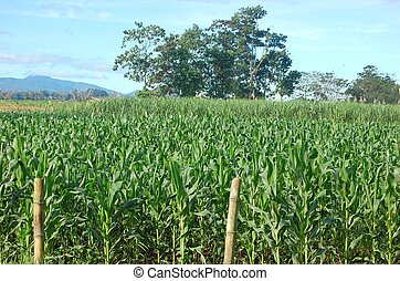 Cornfield photo in Philippines