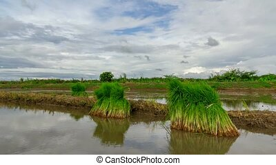 View of Young rice sprout ready to growing in the rice field