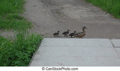 A mother duck and ducklings cross the road. Military...