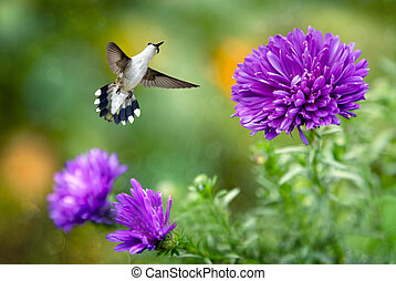 Hummingbird in Flight with Purple Flowers - Hummingbird in...