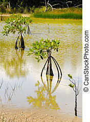 Mangrove trees growing, cuba - Detail of three mangrove...