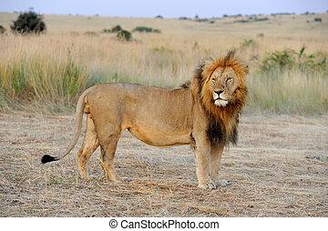 Lion - Close lion in National park of Kenya, Africa