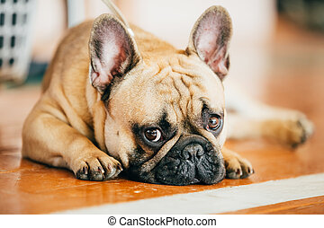 The French Bulldog is a small breed of domestic dog - Sad...