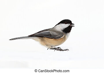 Bird Isolated On White - Black-capped Chickadee (poecile...