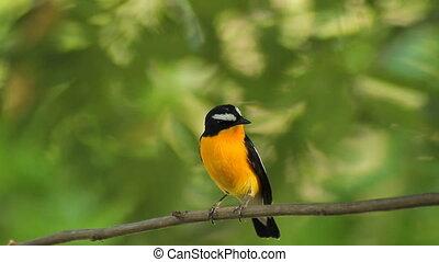 Birds (Yellow-rumped Flycatcher)