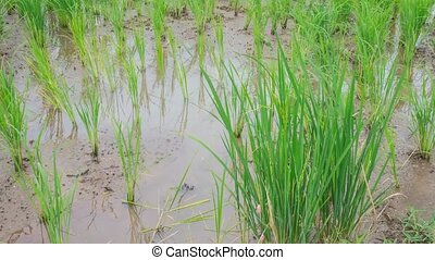View of Young rice sprout ready