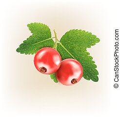 vector red currant isolated