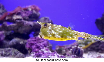 Underwater View of Yellow boxfish Swimming in Coral Reef.