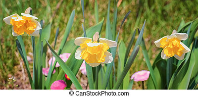 Narcissus Flowers among the Grass