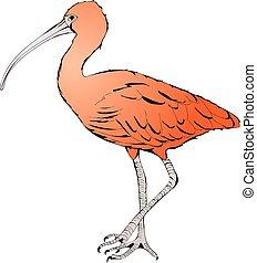 Eudocimus ruber or Red Ibis - Illustration of Eudocimus...