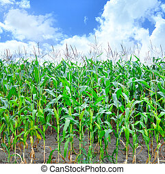 Corn field - corn field, summer field and sky in Ukraine