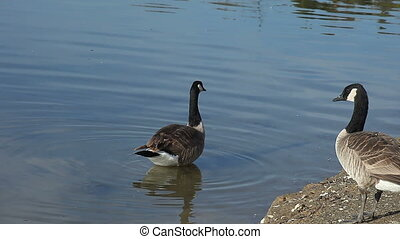 goose in the shallows