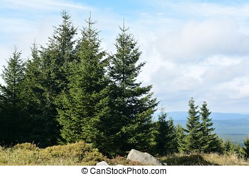 Trees at the summit of the Brocken - sparse vegetation at...