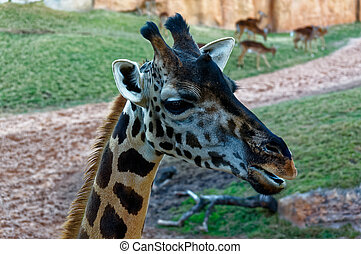 Giraffa camelopardalis with long neck in the zoo.
