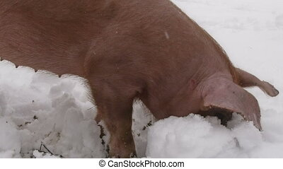 Red pig in the snow - Red pig in a backyard, digging in the...