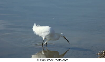 snowy egret stalking - a snowy egret looks for food using...