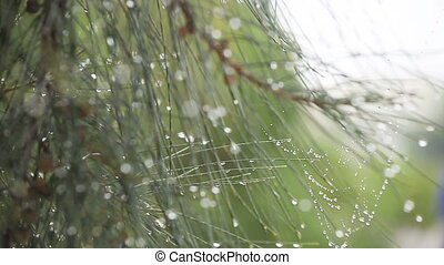 dew on pine needles - dew collects on a spider web and the...
