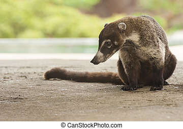 Male Coati Sitting - Male white-nosed coati sits quietly in...