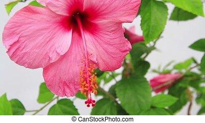 hibiscus flower close up