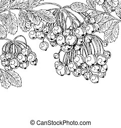 Black ink graphic drawing autumn bunches of Rowan on white background