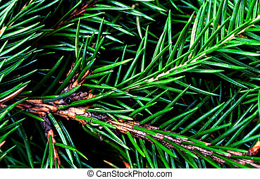 Fir tree branch background close up. Christmas tree pine...