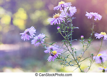 A bee sits on Aster novi-belgii in garden in autumn -...