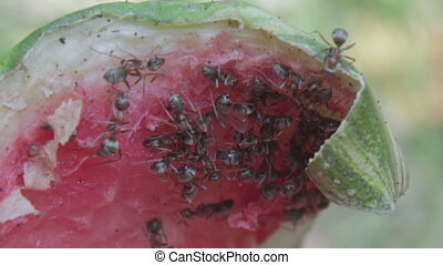 Ants eating a slice of watermelon on the ground. - Many ants...