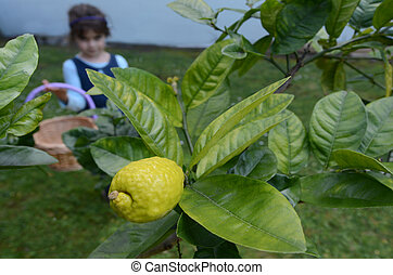 Jewish girl picking a fresh Etrog from on a tree - Jewish...