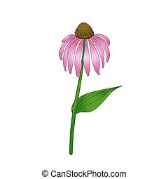 Echinacea purpurea on a white background