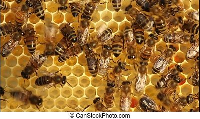 Work bees in hive - Bees convert nectar into honey In comb...