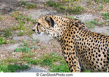 Cheetah Acinonyx jubatus - Cheetah or gepard Acinonyx...