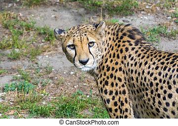 Cheetah (Acinonyx jubatus) - Cheetah or gepard (Acinonyx...
