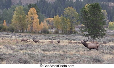 Elk in the Fall Rut - a bull elk in the rut in fall