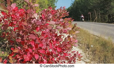 road between the villages - bush with red autumn leaves near...