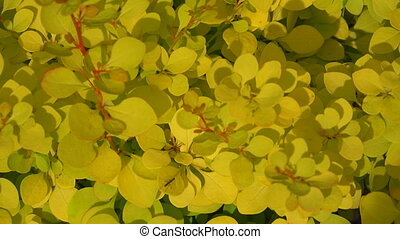 yellow bushes of barberry Shot in 4K ultra-high definition...
