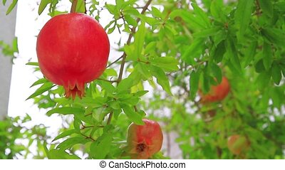 Pomegranate on the tree