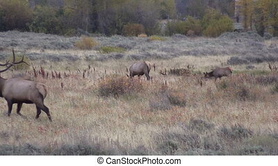 Rutting Elk in Fall - a bull elk in rut in the fall