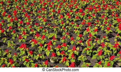 SALVIA SPLENDENS 4K - SALVIA SPLENDENS Shot in 4K ultra-high...