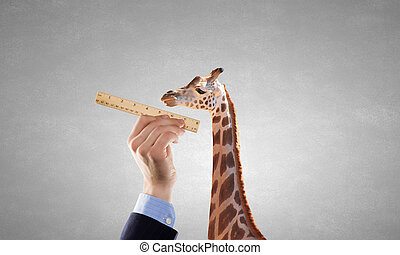 Measuring giraffe - Close up of male hand measuring giraffe...