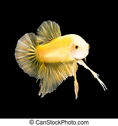 betta fish on black - Yellow siamese fighting fish, betta...