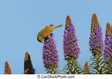 bird pollinating flowers - bird pollinating Pride of Madeira...